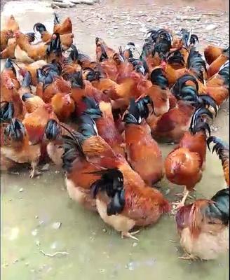 福建省龙岩市长汀县长汀河田鸡 5-6斤 统货