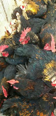 河南省三门峡市灵宝市黑鸡 3-4斤 公