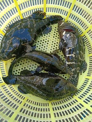海南省海南省乐东黎族自治县珍珠龙胆石斑鱼 人工殖养 1-1.5公斤