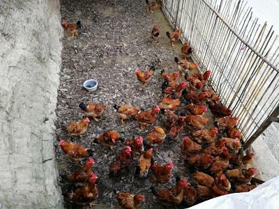 陕西省安康市汉滨区土鸡 6-7斤 公