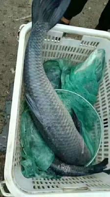 湖南省常德市武陵区淡水青鱼 10-18公斤 人工养殖