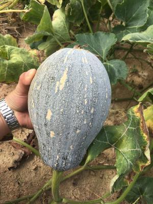 广东省佛山市禅城区香芋南瓜 2~4斤
