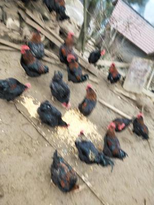 这是一张关于黄脚鸡 7-8斤 公 的产品图片