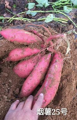 湖北省襄阳市宜城市烟薯25 混装通货 红皮