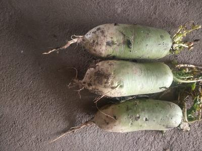 河南省南阳市邓州市青皮萝卜 1.5~2斤
