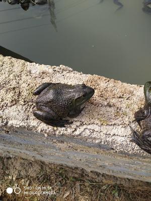 广东省清远市清新区牛蛙