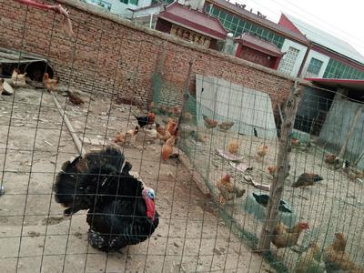 河南省驻马店市上蔡县土鸡 2-3斤 统货