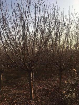 陕西省西安市长安区日本红叶樱花 3.5米~5米 14~16公分