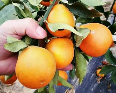 广西壮族自治区柳州市柳北区脆蜜金桔 2-3cm 1-1.5两