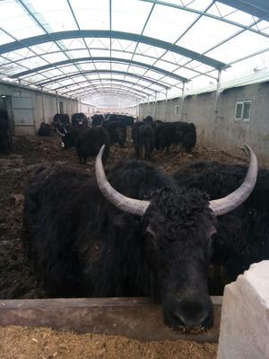 青海省西宁市城东区牦牛 200-300斤 公牛