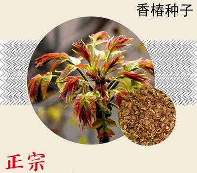 江苏省宿迁市沭阳县香椿种子 ≥90%