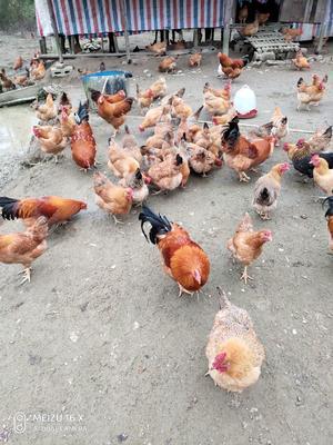 广西壮族自治区南宁市上林县土鸡 3-4斤 母