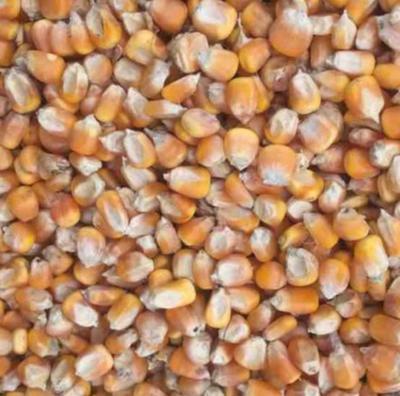 贵州省铜仁市石阡县甜玉米 带壳 甜糯
