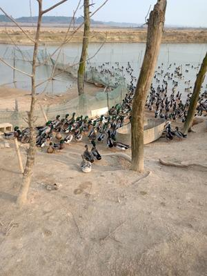 安徽省宣城市郎溪县绿头鸭 2-3斤