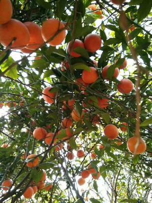 广东省揭阳市揭西县富硒柑橘 2 - 2.5cm 1 - 1.5两