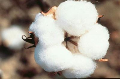 新疆维吾尔自治区阿克苏地区阿克苏市新疆棉花