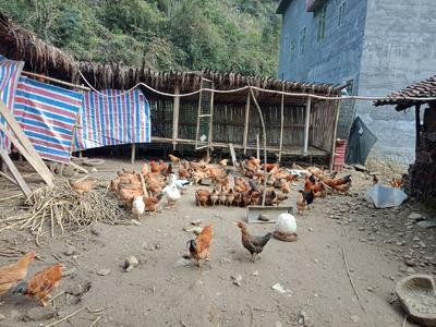 广西壮族自治区河池市东兰县土鸡 3-4斤 母