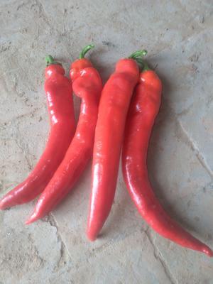 山东省聊城市冠县红椒 20cm以上 甜辣 红色