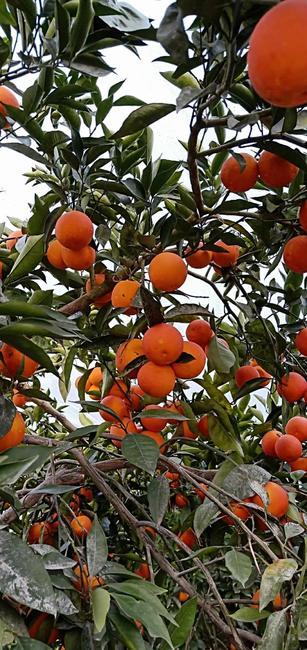 长叶香橙 60 - 65mm 4-8两