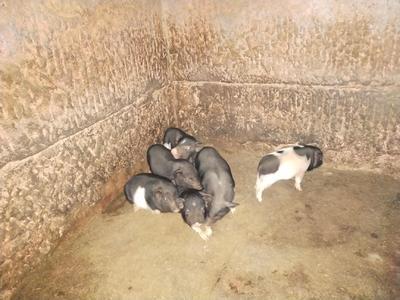 这是一张关于巴马香猪 20-40斤 的产品图片