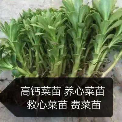 山东省济南市济阳县救心菜苗 种苗