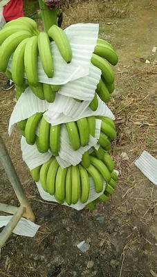 广西壮族自治区南宁市武鸣县威廉斯香蕉 七成熟