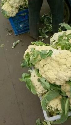 山东省临沂市沂水县有机花菜 松散 2~3斤