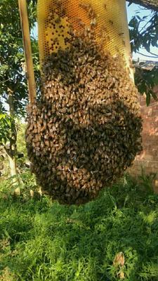 这是一张关于土蜂蜜 桶装 2年 90%以上 的产品图片