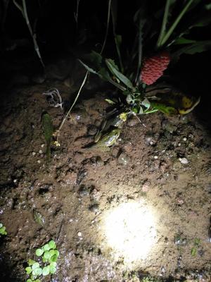 重庆大足区黑斑蛙苗