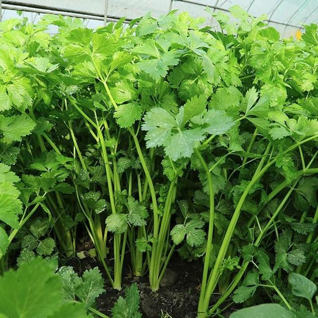 西芹 40cm以下 0.5斤以下 大棚种植  约5.0斤/袋