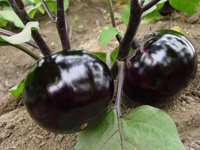 山东省潍坊市寿光市紫光圆茄 20cm以下 圆茄