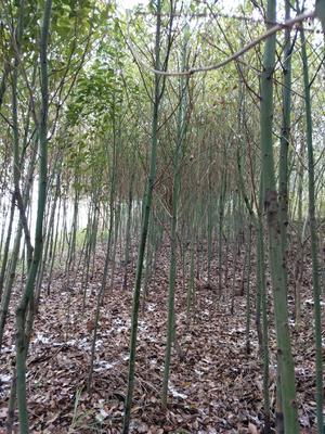 广西壮族自治区桂林市全州县小叶樟