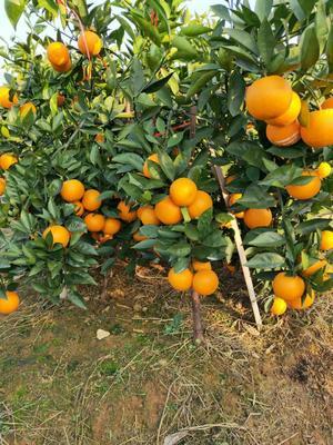 这是一张关于蜜香橙 70-75mm 4两以下 的产品图片