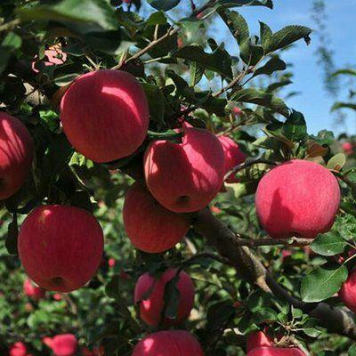 这是一张关于红富士苹果 75mm以上 条红 纸袋 的产品图片