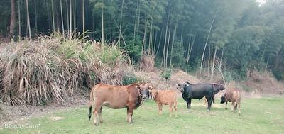 这是一张关于土黄牛 400-600斤 公牛 的产品图片