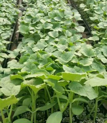 这是一张关于哈密瓜苗 的产品图片
