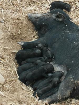 山西省运城市绛县藏香猪 80斤以上