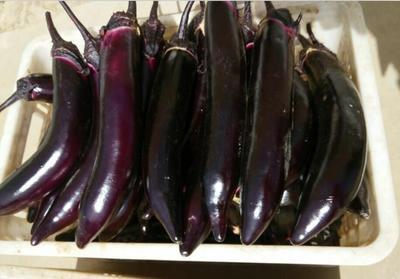 山东省潍坊市寿光市紫长茄 20~30cm 长茄