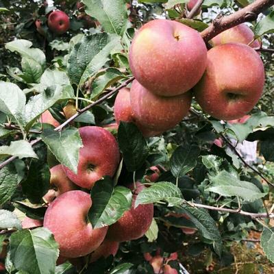 云南省昭通市大关县丑苹果 65mm以上 统货 光果