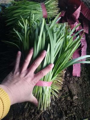 这是一张关于汉中韭王 头茬 20~30cm 的产品图片