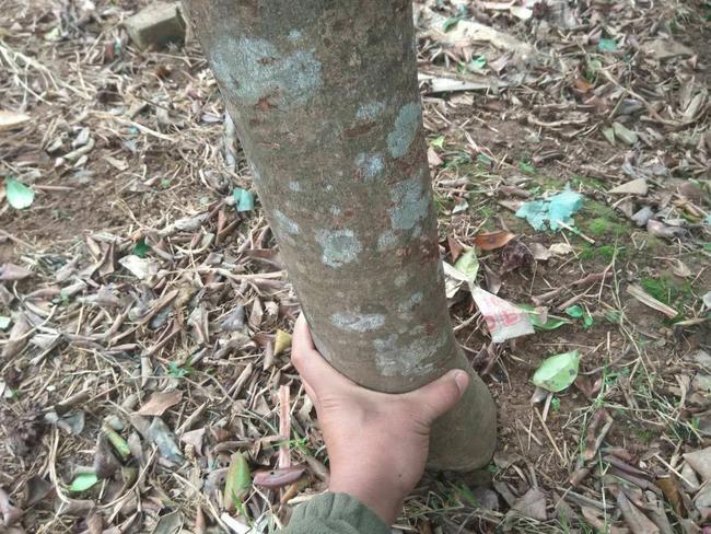 茶花树 140cm以上