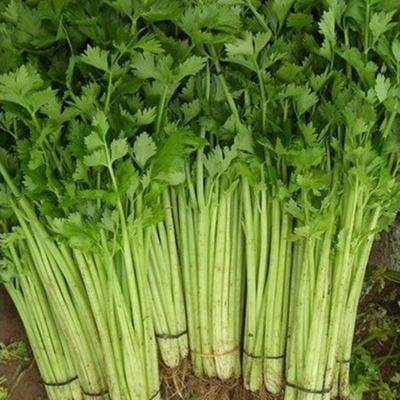 上海奉贤区香芹 40~45cm 0.5斤以下 大棚种植