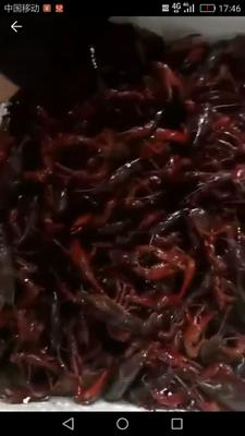 这是一张关于清水小龙虾 6-8钱 人工殖养 的产品图片