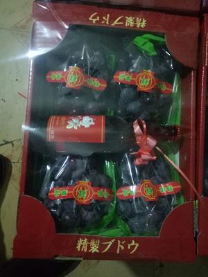 辽宁省辽阳市文圣区巨峰葡萄 1-1.5斤 5%以下 1次果