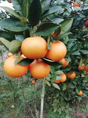 这是一张关于甜橙 55 - 60mm 3.8两 的产品图片