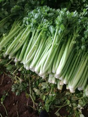 山东省济南市商河县西芹 60cm以上 0.5~1.0斤 大棚种植