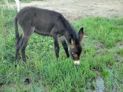 安徽省六安市金安区野生驴 200-400斤