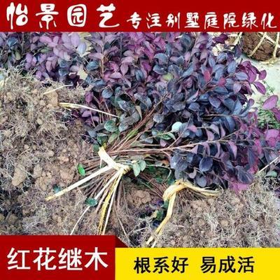湖南省长沙市浏阳市双面红 红花继木小苗