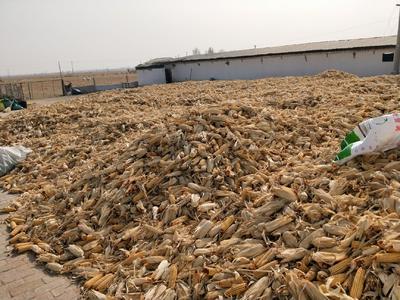 内蒙古自治区鄂尔多斯市乌审旗先玉335玉米粒 杂质很少 水份14%-16%