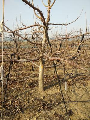 这是一张关于金州大樱桃 的产品图片